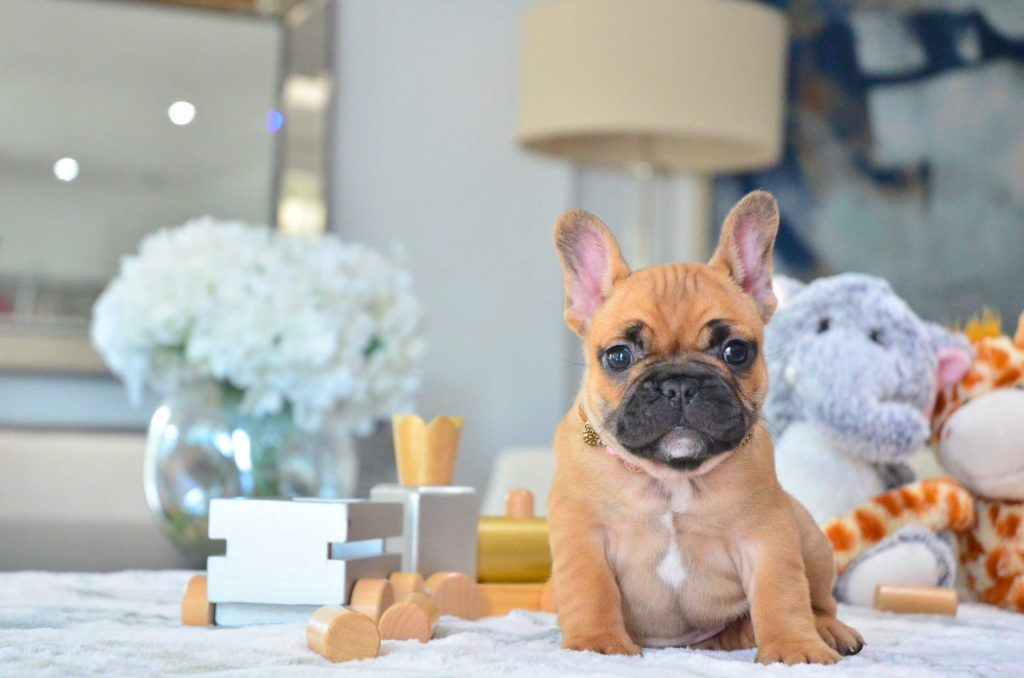 News for all Frenchie Lovers