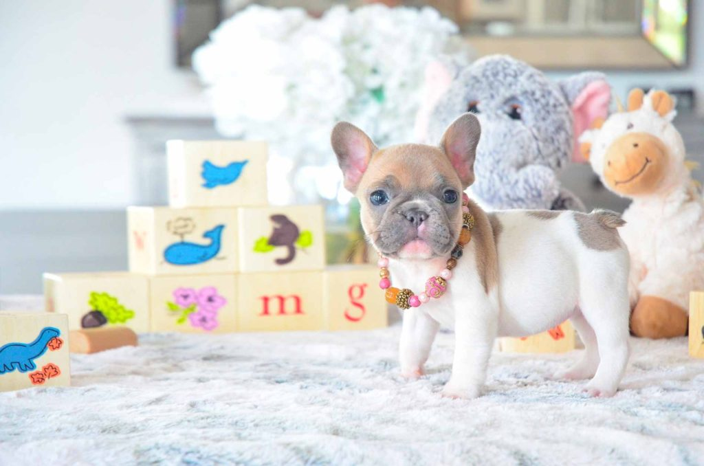 White Brown Puppy From Poetic French Bulldog