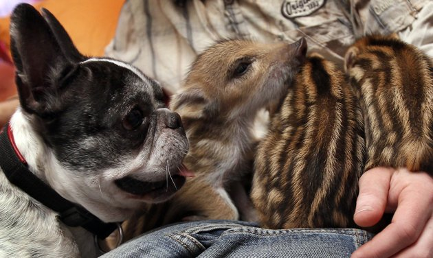French bulldog adopts wild boar piglets