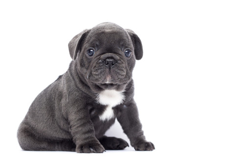 How to Care for a French Bulldog Puppy