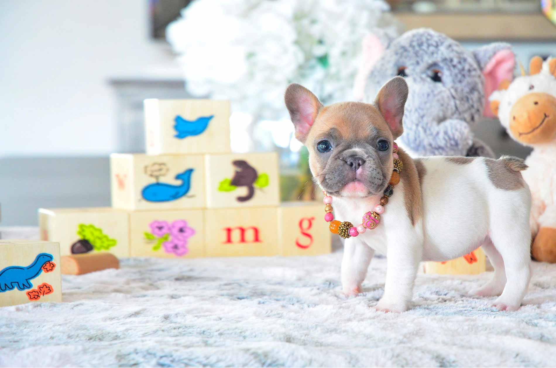 Puppies for sale cupcake poetic french bulldog