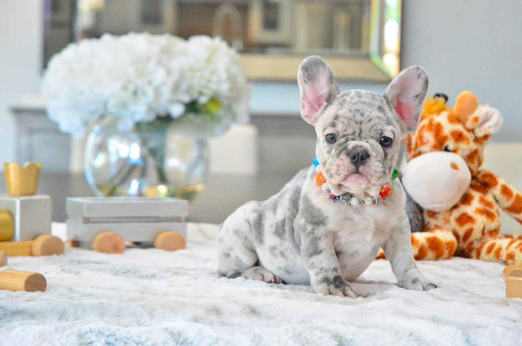 Poetic French Bulldog Puppies For Sale in Miami