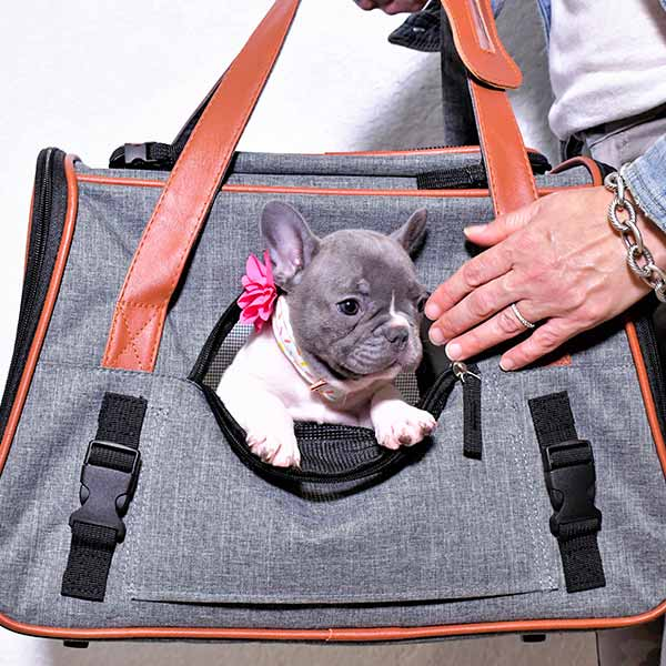 frenchie puppy delivery