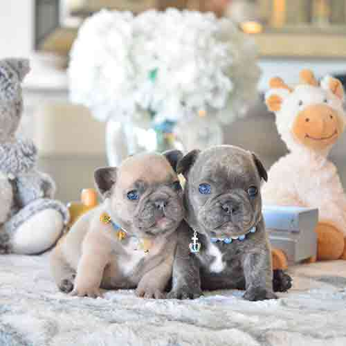 french puppies for sale upcoming litter