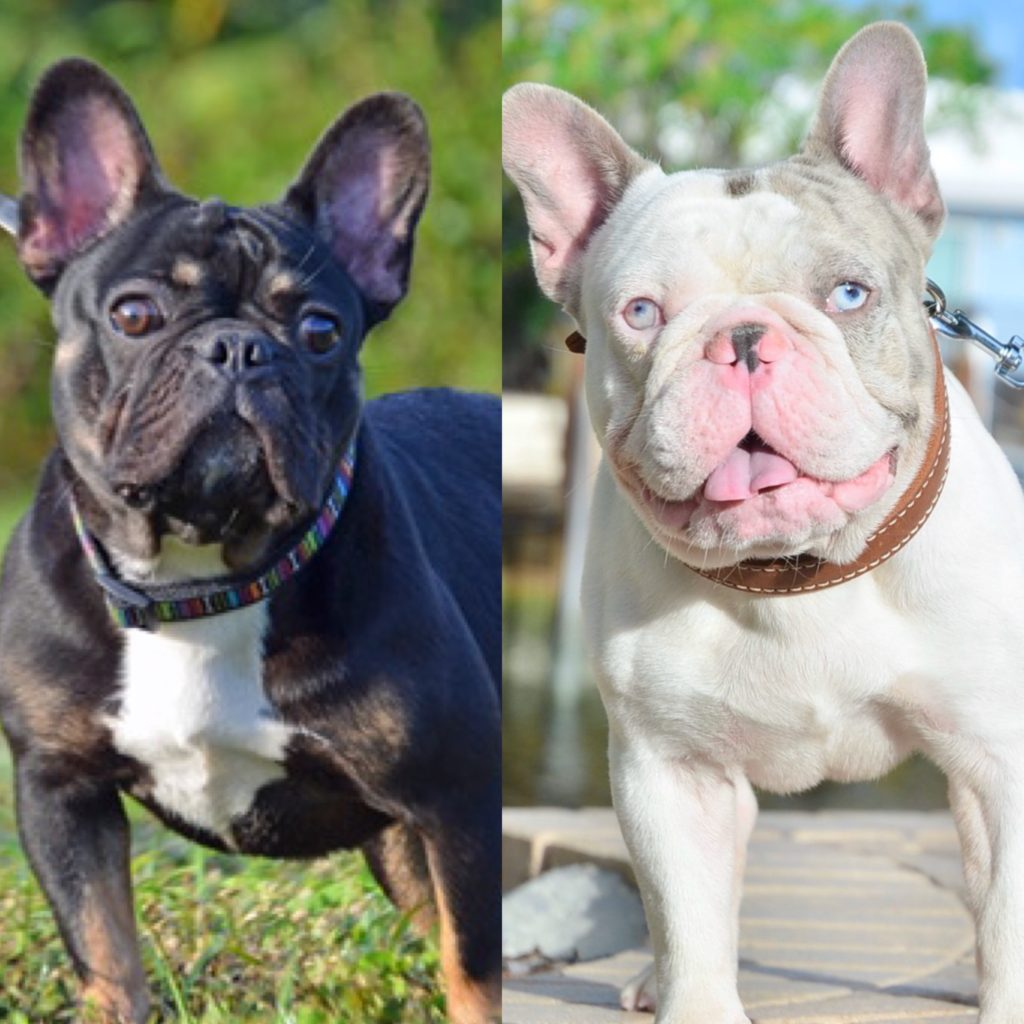 New litter french bulldog puppies for sale