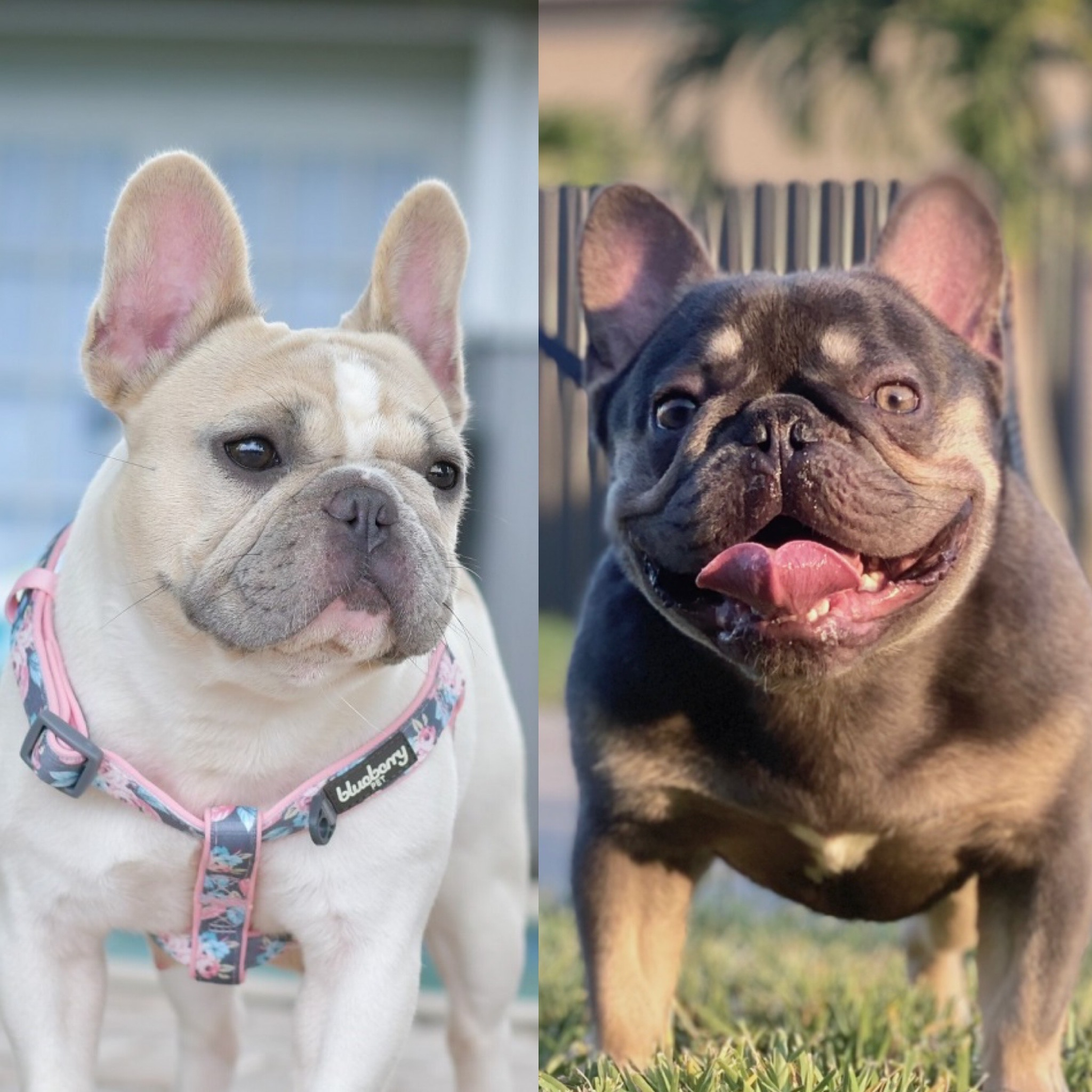 upcoming litter french bulldog puppies for sale in florida