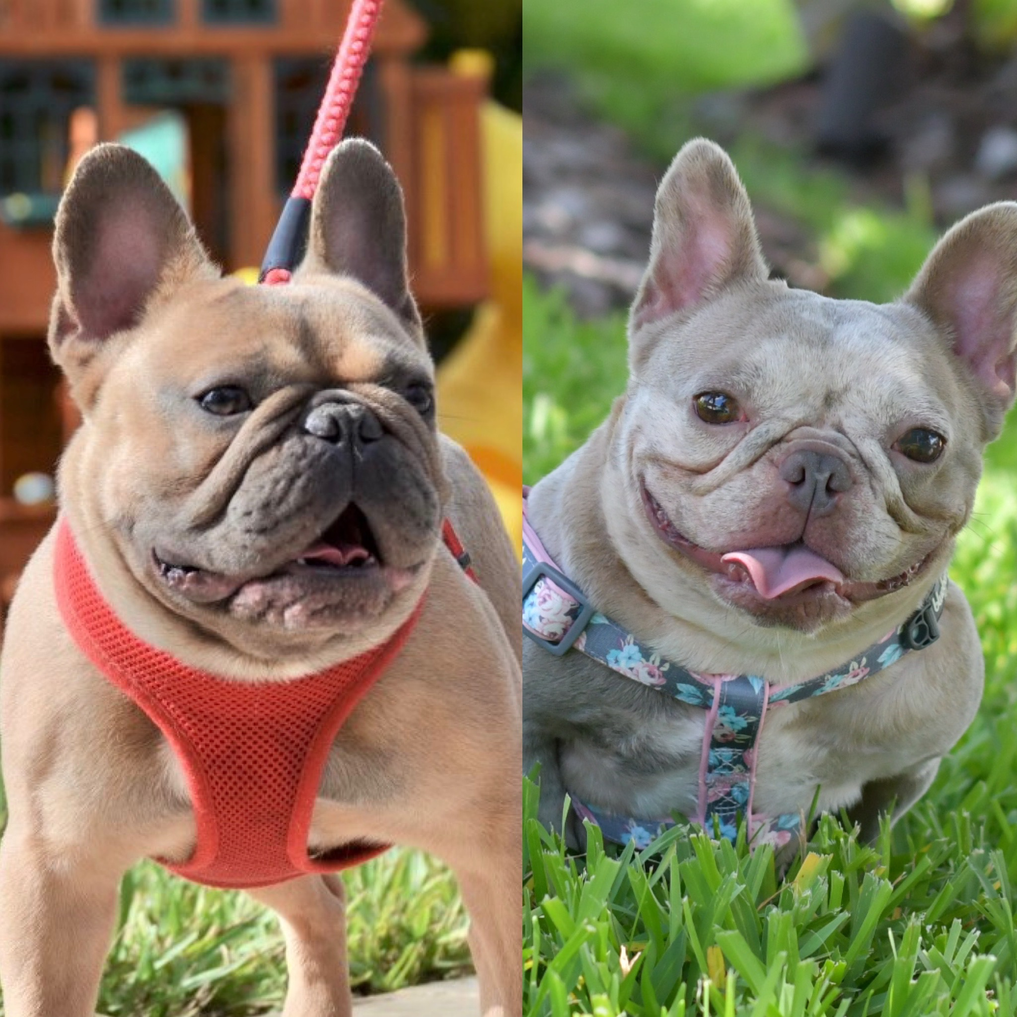 French-bulldog-puppies-for-sale