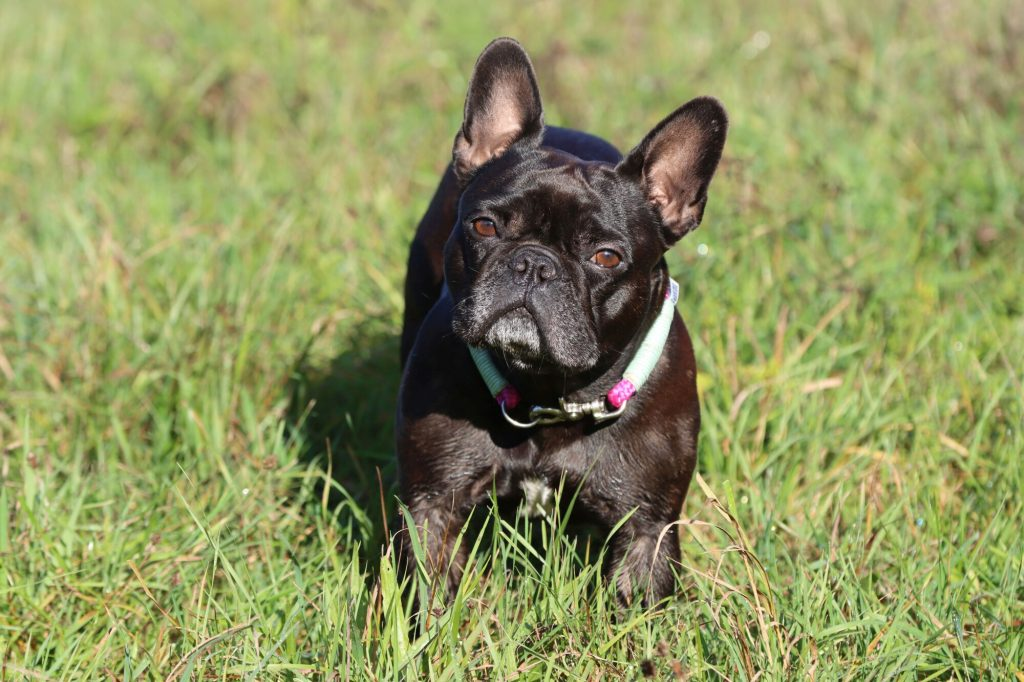 history of French bulldogs