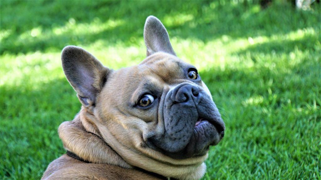 French Bulldog name