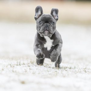 French Bulldog History