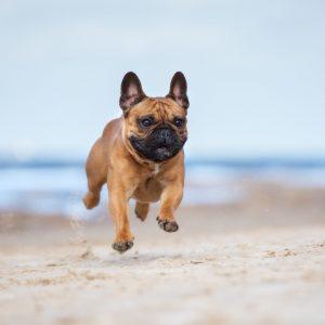 French bulldog personality