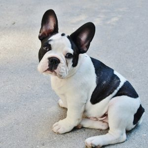 French bulldog Lentil with cleft lip helps kids be okay with facial defects