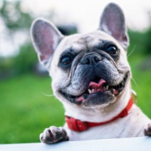 Fine Foods Guide: The Best French Bulldog Puppy Food